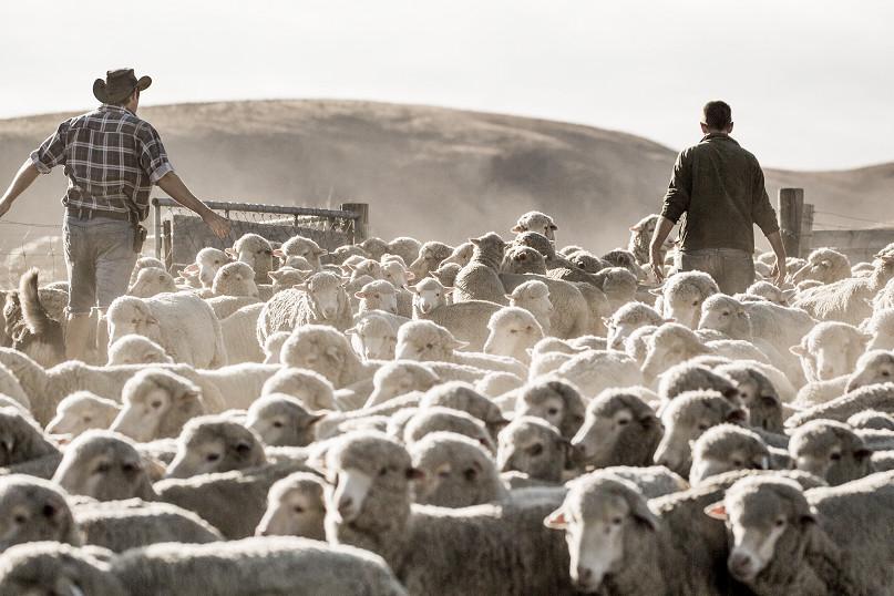 owce merino
