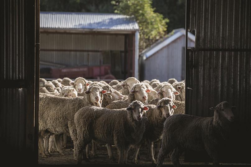 farma owiec merino