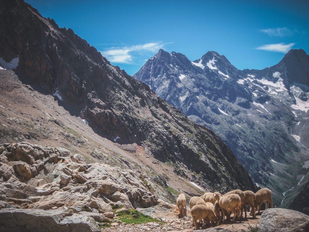 Alpy Delfinatu owce