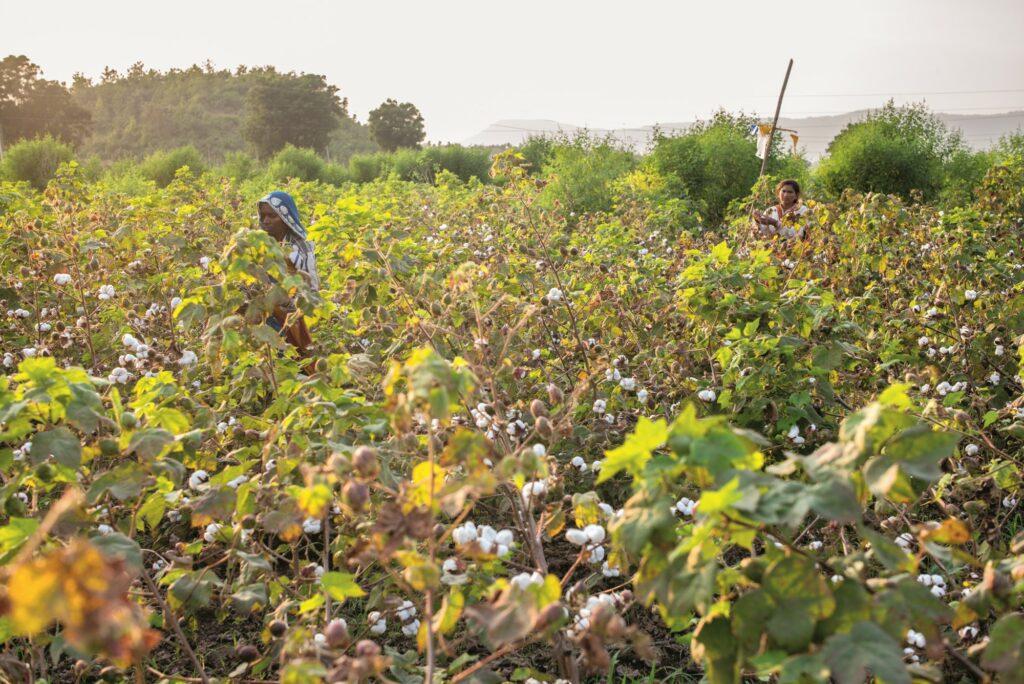 Regeneracyjna uprawa bawełny w Indiach