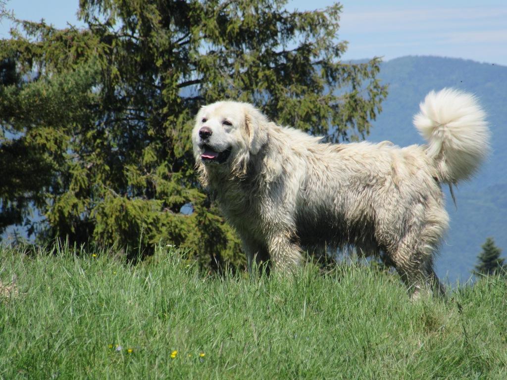 Pies w Pieninach