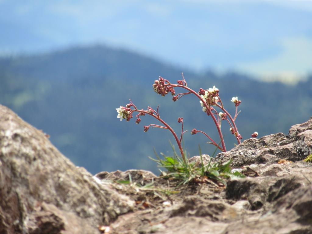 Kwiaty na Wysokiej w Pieninach