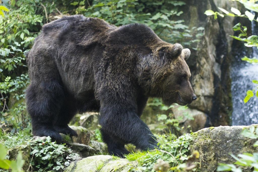 Niedźwiedź brunatny Tatry