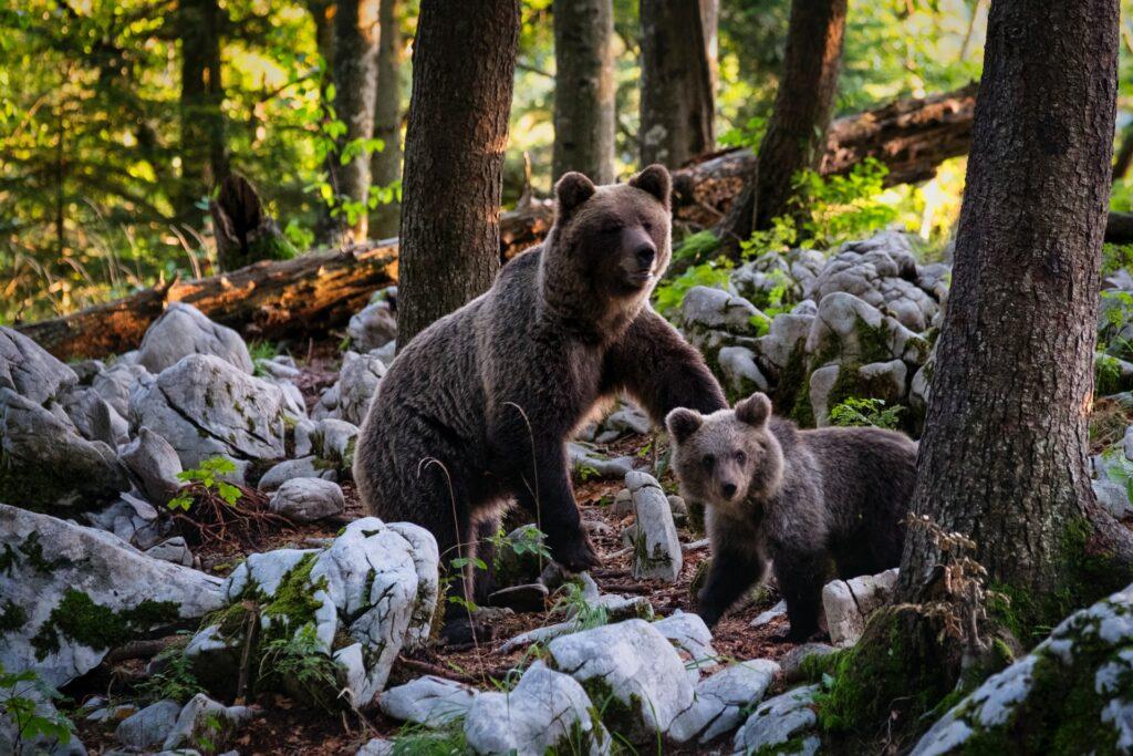 niedźwiedzie słowacja