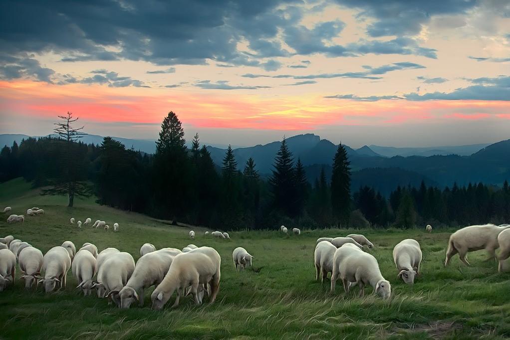 wypas owiec w pieninach