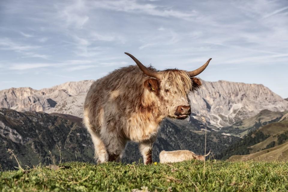 krowy w górach