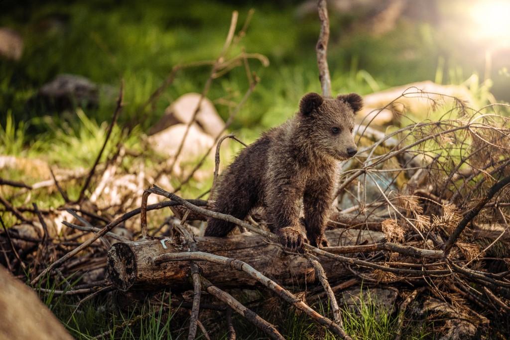 mały niedźwiedź brunatny